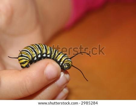 Monarch caterpillar on child's hand - stock photo