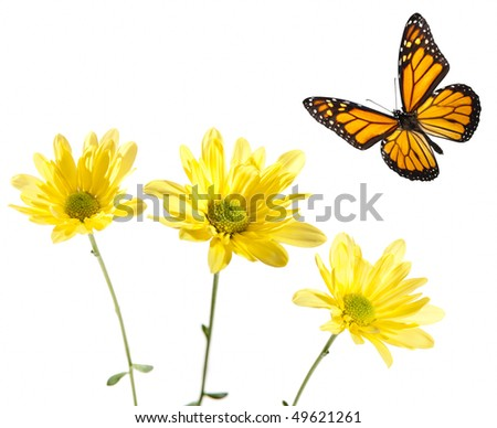Monarch Flying over Yellow Daisies. Studio shot. Critical focus on centers of flowers and across entire butterfly. - stock photo