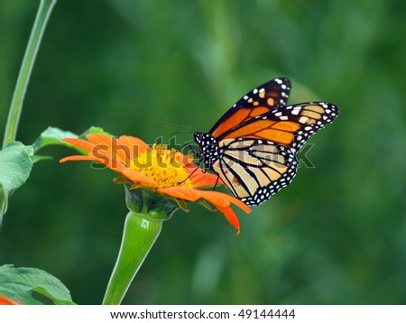 Monarch on a Mexican Sunflower - stock photo