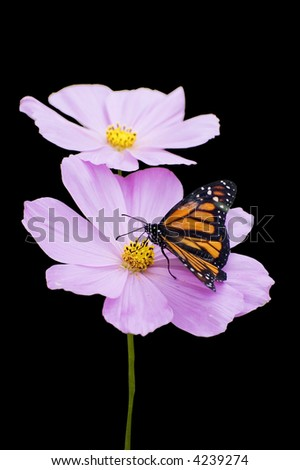 Monarch on flower (isolated on black) - stock photo