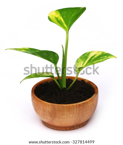 Money plant in a wooden bowl