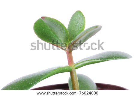 money tree on a white background - stock photo