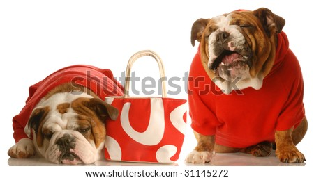 money woes - two english bulldog in red sweaters with red purse - stock photo
