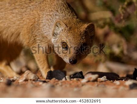 mongoose in the Kalahari - stock photo