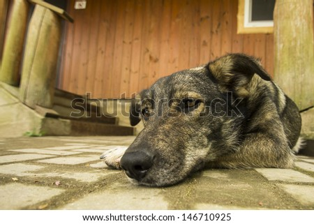 mongrel dog guarding wooden house near stairway - stock photo