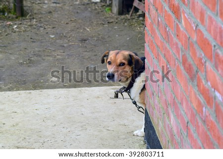 Mongrel dog on a chain. Dog in a private home. - stock photo