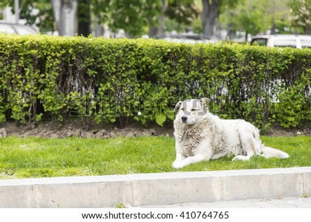 Mongrel Stray Dog laying on green grass outside. - stock photo