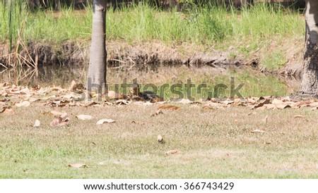Monitor lizard beside the pool - stock photo