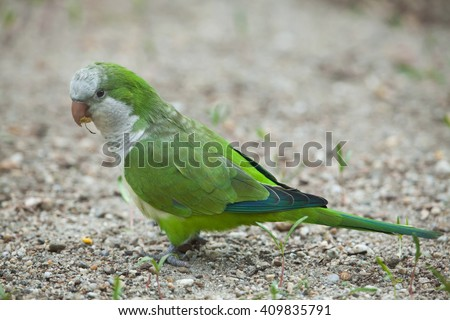 Monk parakeet (Myiopsitta monachus), also known as the quaker parrot. Wild life animal.