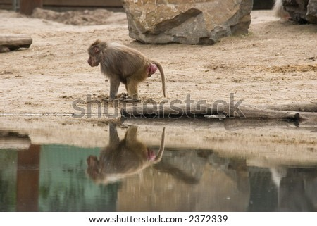 monkey and water - stock photo