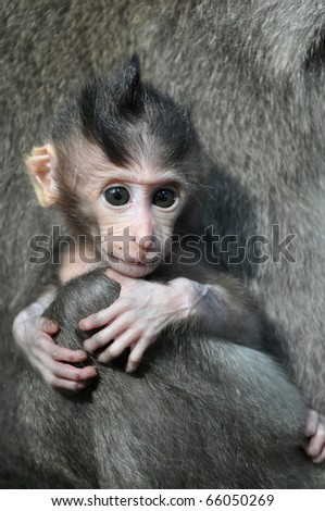 Monkey baby. Bali, Indonesia. - stock photo