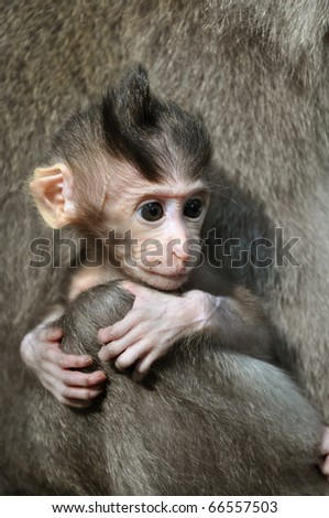 Monkey baby. Pura Dalem Agung Padangtegal temple in Sacred Monkey Forest in Ubud. Bali, Indonesia. - stock photo