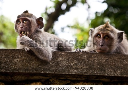 Monkey. Bali a zoo. Indonesia. - stock photo