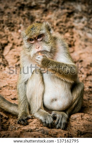 Monkey breakfast in rock. Thailand - stock photo