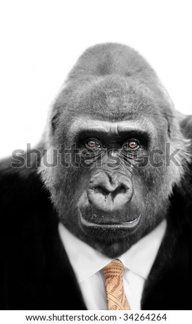 Monkey business with Silverback Gorilla wearing a shrewd expression and a Stockmarket Tie - stock photo