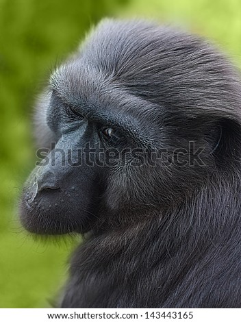Monkey close-up against blurred green background. - stock photo
