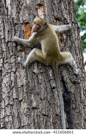 Monkey (Crab-eating macaque) on tree in Thailand