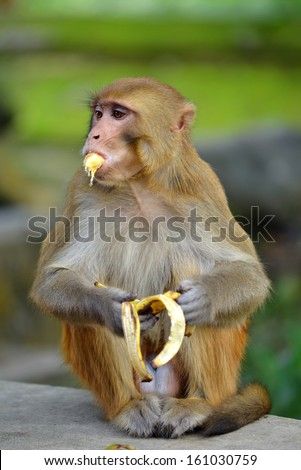 Monkey eating banana - stock photo