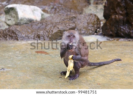 Monkey eating banana on Monkey Island, Phuket, Thailand - stock photo