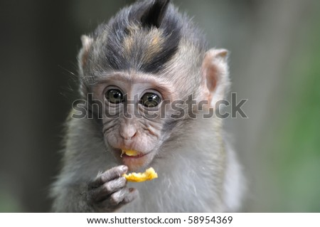 Monkey eating fruit in Bali Ubud forest