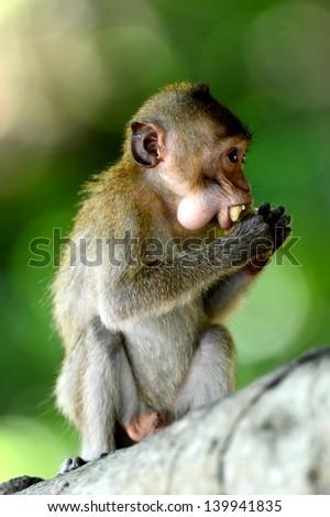 Monkey eating fruit on the tree at Khao Kheow Open Zoo,Thailand - stock photo