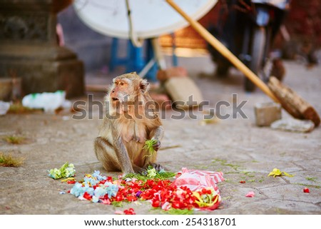 Monkey eating offerings in a Balinese temple, Indonesia - stock photo