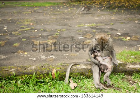monkey family, mother with baby, sitting on a stone, in Sacred Monkey Forest in Ubud Bali Indonesia.   - copyspace - stock photo