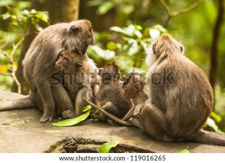 Monkey family, Ubud Monkey Forest, Bali, Indonesia - stock photo