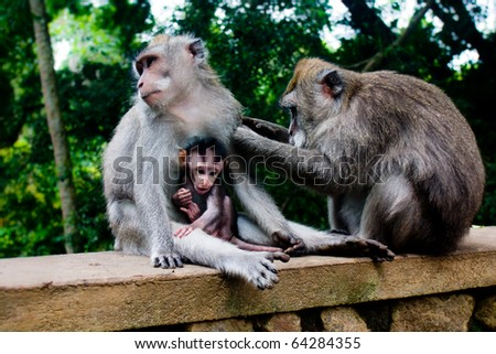 Monkey family with two adults and one baby (Macaca fascicularis) near Pura Dalem Agung Padangtegal temple in Sacred Monkey Forest in Ubud Bali Indonesia. - stock photo