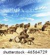Monkey gelada in Ethiopia - stock photo
