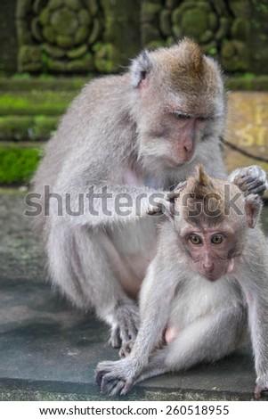 Monkey grooming a younger monkey, Ubud, Bali, Indonesia - stock photo