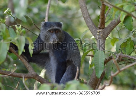 Monkey in a tree in Tanzania.