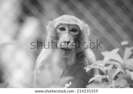 Monkey in black and white - stock photo