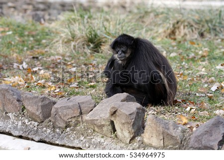 Monkey in Zoo, Subotica. Serbia