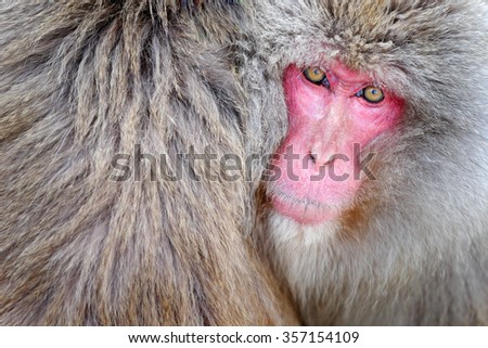 Monkey Japanese macaque, Macaca fuscata, detail red face portrait in the fur, Hokkaido, Japan - stock photo