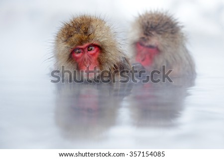 Monkey Japanese macaque, Macaca fuscata, red face portrait in the cold water with fog, two animal in the nature habitat, Hokkaido, Japan - stock photo