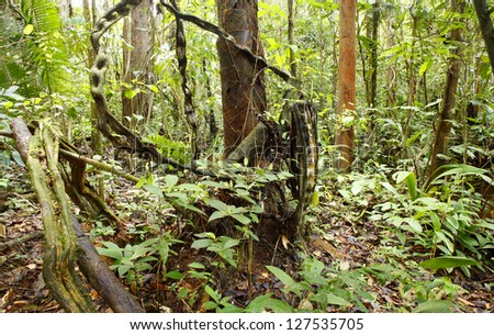 Monkey Ladder lianas (Bauhinia sp.) in tropical rainforest near Iquitos, Peru - stock photo