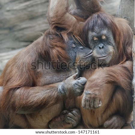 Monkey love. Tenderness of two orangutan females - mother and her adult daughter. - stock photo