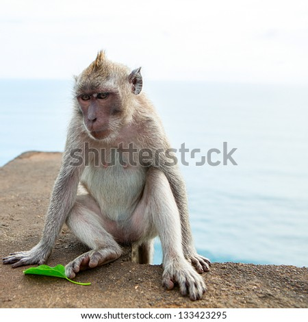 Monkey (Macaca fascicularis) - stock photo