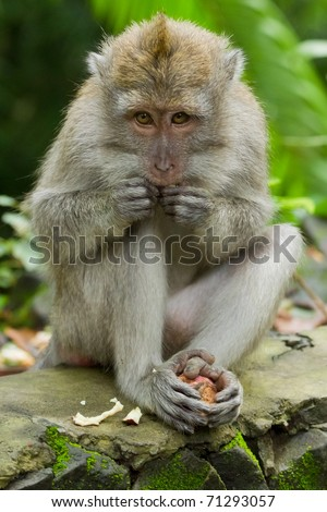 Monkey (Macaca fascicularis) at  Dalem Agung Padangtegal temple in Sacred Monkey Forest, Ubud,  Bali Indonesia - stock photo