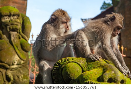 Monkey (Macaca fascicularis). Bali - stock photo