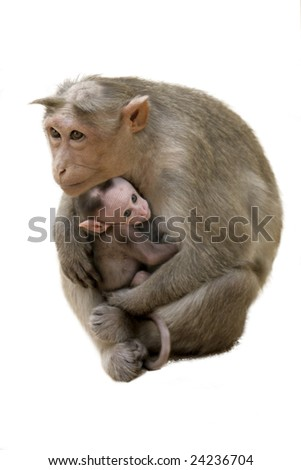Monkey Macaque Family on the street of Indian town - stock photo