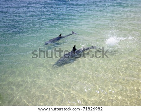 Monkey Mia never fails to surprise me with the wild dolphins being so curious about people. - stock photo