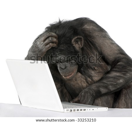monkey (Mixed-Breed between Chimpanzee and Bonobo)v playing with a laptop in front of a white background - stock photo