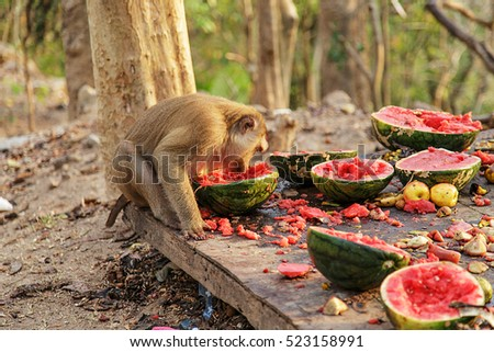 monkey/monkey family/monkey eating watermelon/monkey forest in thailand