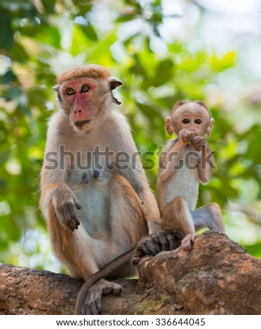 Monkey mother with a baby sits on a tree. Sri Lanka. An excellent illustration.