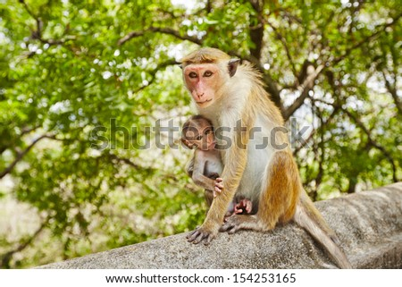 Monkey mother with hungry baby - selective focus on mother - stock photo