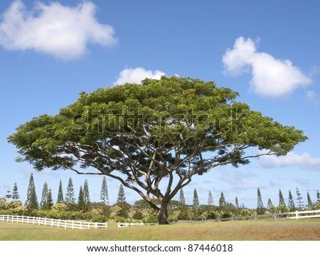 Monkey Pod Tree - stock photo