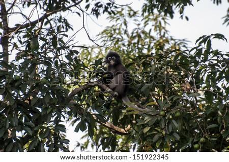 monkey (presbytis obscura reid) eating fruit on tree - stock photo