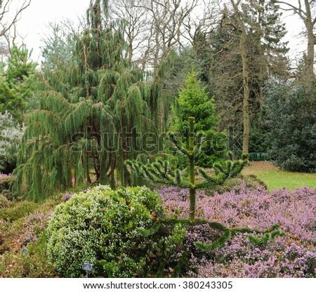 Monkey Puzzle Tree (Araucaria araucana) Surrounded by Flowering Heather (Calluna vulgaris) in a Garden in Surrey, England, UK - stock photo